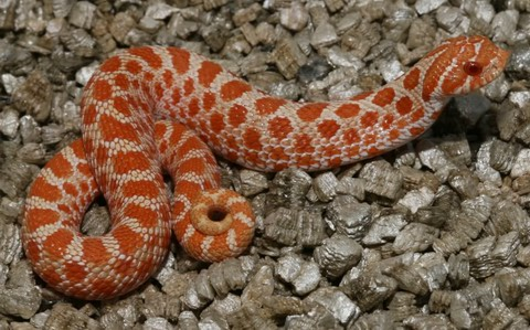 Extreme Red albino Hognose