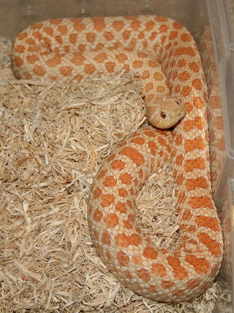 Hognose albino